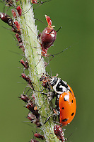 Convergent Ladybug (Hippodamia convergens), adult eating Aphids (Aphidoidea),  Laredo, Webb County, South Texas, USA