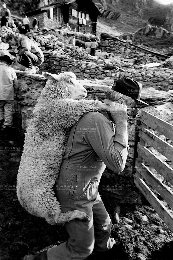 Switzerland. Canton Valais. Belalp. At the end of the season spent by sheeps in mountain pastures, the animals are brought back to Belalp. Each owner has to look for his own sheep. A man carries his sheep on his back.  Swiss alpine farmers. Alps mountains peasants. 20.08.96 © 1996 Didier Ruef