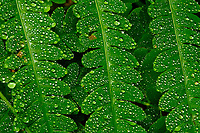 Detail of raindrops on Braken Ferns, Pteridium aquilinum, in the Wilcox Lake Wild Forest Area in the Adirondack Mountains of New York State