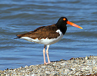 Adult American oystercatcher