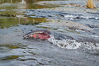 Wild Male Coho or Silver Salmon (Oncorhynchus kisutch) on fall spawning migration, swimming up shallow river.  Pacific Northwest.  October.  Wild fish not hatchery fish.