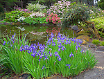 Shore Acres State Park, OR: A pond at the Simpson Estate Garden with siberian irises, rhododendrons and azaleas blooming in spring.