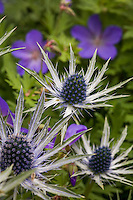 Eryngium (sea holly) flowering in California perennial garden