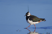 Northern Lapwing, Vanellus vanellus, male, National Park Lake Neusiedl, Burgenland, Austria, Europe
