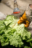 Washing a freshly harvested lettuce
