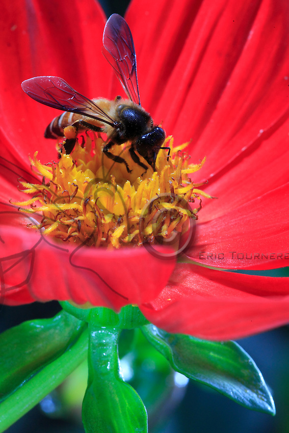 Geant bee on a flower with some pollen.