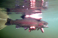 NWA Democrat-Gazette/FLIP PUTTHOFF <br /> Rainbow trout at Lake Taneycomo are being affected by low dissolved oxygen levels in the lake. This trout was caught and released in October 2014 at Taneycomo.