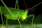 Conehead Katydid, Copiphora sp., Manu, Peru, jungle, on leaf. .South America....