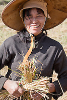 Myanmar, Burma, near Kalaw.  Burmese Woman Harvesting Rice by Hand.