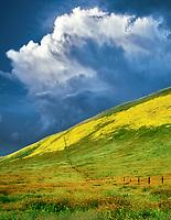 Fence line and mostly Devil's Lettuce or Fiddleneck (Amsinckia tessellata)Carrizo Plain National Monument, California