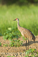 Sandhill crane, Fairbanks, Alaska