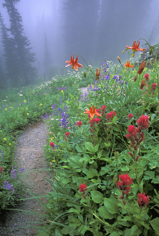 Trail through subalpine wildflowers, Indian Henrys Hunting Ground, Mount Rainier National Park, Cascade Mountains, Washington