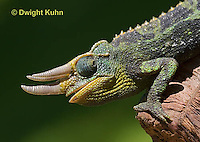 CH35-579z  Male Jackson's Chameleon or Three-horned Chameleon, close-up of face, eyes and three horns, Chamaeleo jacksonii