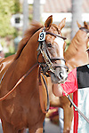Derekson son of Brother Derek walking into the paddock at Del Mar Race Course in Del Mar, California on August 4, 2012.