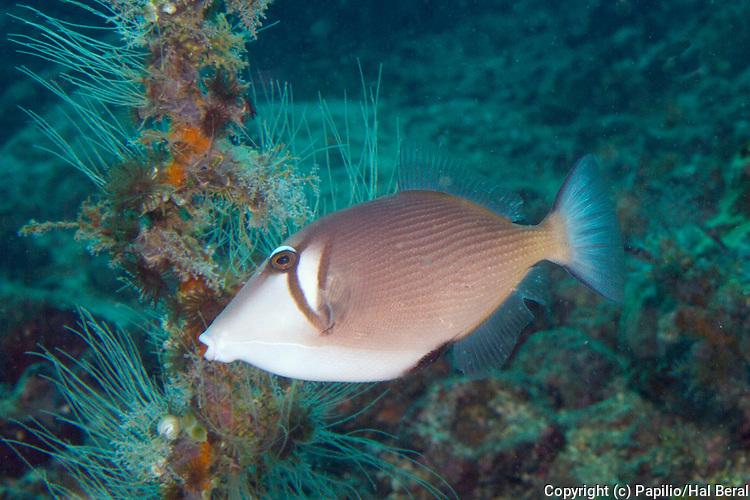 Scythe Triggerfish.(Sufflamen bursa).Lembeh Straits,Indonesia