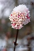 Gisela, FLOWERS, BLUMEN, FLORES, photos+++++,DTGK2180,#f#