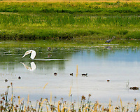 Serene pond in Ridgefield National Wildlife Refuge with variety of birds including an egret, blue heron, ducks and coots