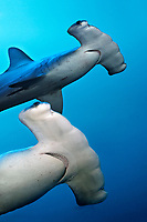 Two scalloped Hammerhead sharks (Sphyrna lewini), Teodoro Wolf Island or Wenman Island, Galápagos Islands, Pacific