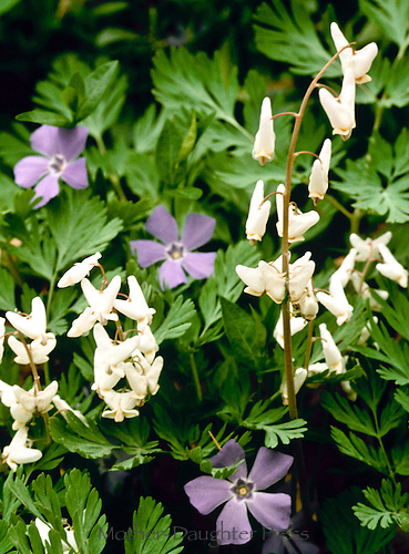 Dutchmans breeches, Dicentra Cucullaria, flowers
