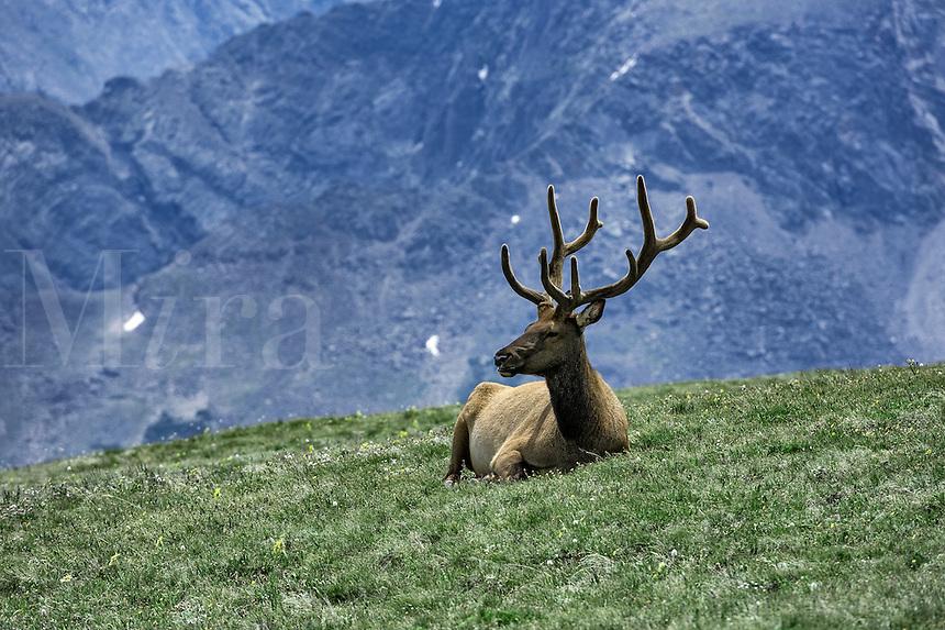 Elk resting on mountain top in Rock Mountain National Park, Colorado, USA