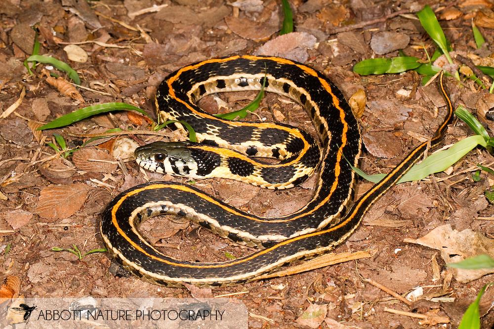 Blackneck Garter Snake 20100526_1187 jpg | Abbott Nature