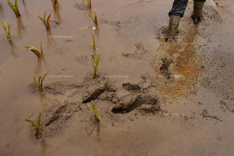 Isaac Kanoa leaves muddy prints in the taro patch that has been planted in for seven generations by his family.