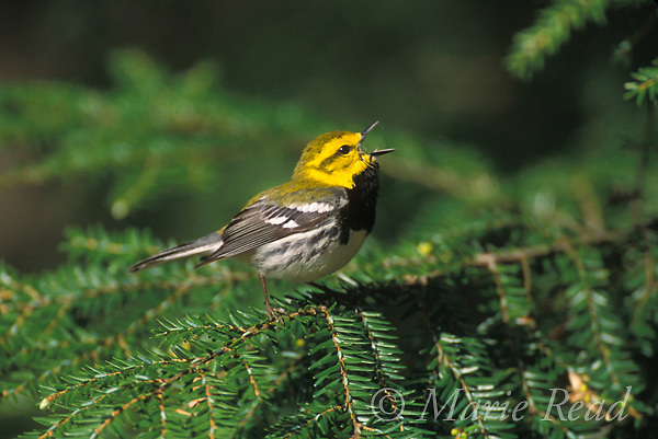 Black-throated Green Warbler (Dendroica virens) male singing from a hemlock branch, New York, USA<br /> Slide # B161-2006