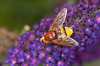 Große Waldschwebfliege, Grosse Wald-Schwebfliege, Hornissenschwebfliege, Hornissen-Schwebfliege, Riesen-Hummelschwebfliege, Blütenbesuch auf Schmetterlingsflieder, Buddleja, imitiert das Aussehen von Hornissen, um Schutz vor Fressfeinden zu haben, Tarnung, Mimikry, Volucella zonaria, hornet mimic hoverfly