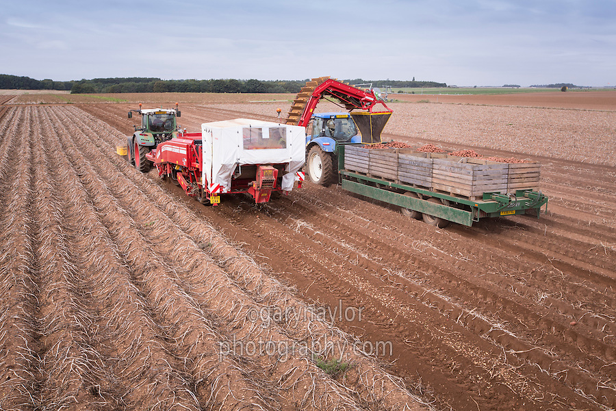 Harvesting Shannon potatoes direct into boxes - September, Lincolnshire