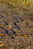 School of Cutthroat Trout (Oncorhynchus clarkii) moving into mouth of small spawning stream.  Montana-Wyoming area.  June.