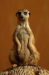Slender-Tailed Meerkat, Kalahari Desert, South Africa