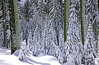 Snow covered trees Yosemite Valley, California