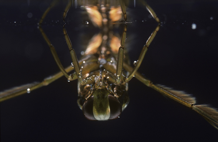 Water Boatman - Notonecta glauca