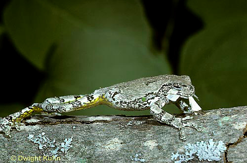 FR15-014z  Gray Tree Frog -  with insect prey - Hyla versicolor