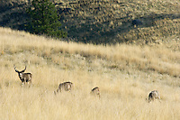 Mule Deer (Odocoileus hemionus) grazing among bunch grass.  Western U.S., fall.