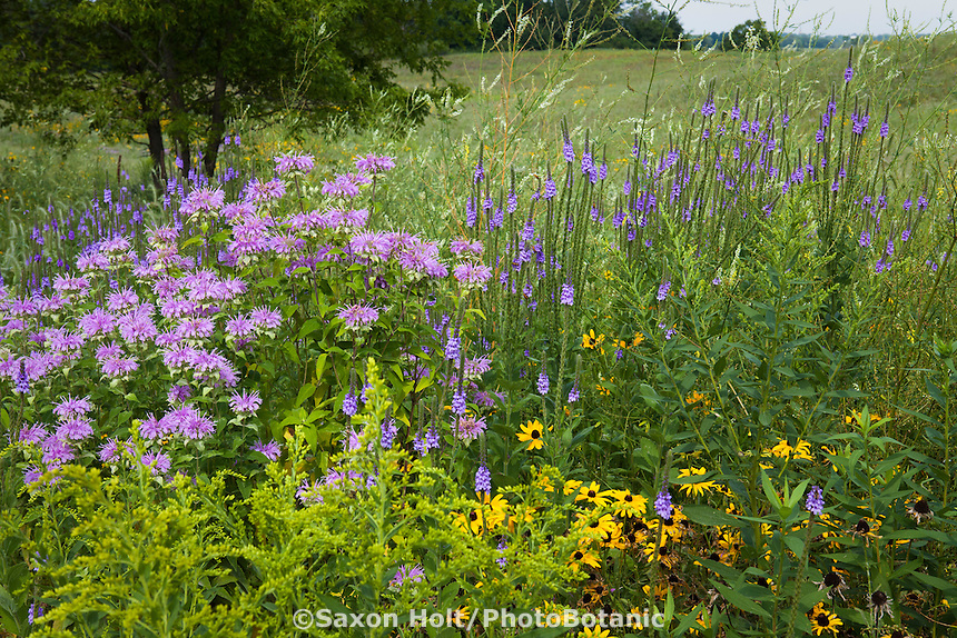 Bee Balm (Monarda fistulosa), Vervain (Verbena hastata), Goldenrod (Solidago) and Rudbeckia wildflowers in Crow-Hassan Park, prairie reserve