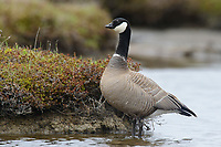 Male Cackling Goose (Branta hutchinsii minima). Yukon Delta National Wildlife Refuge, Alaska. June.