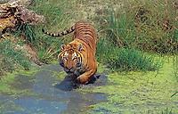 Bengal tiger, Indian tiger, Panthera tigris tigris, adult, hunting in water