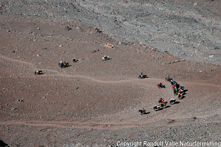Muldyr på vei mot Plaza de Mulas, Aconcagua. ----- Mules on the way to Plaza de Mulas, Aconcagua.