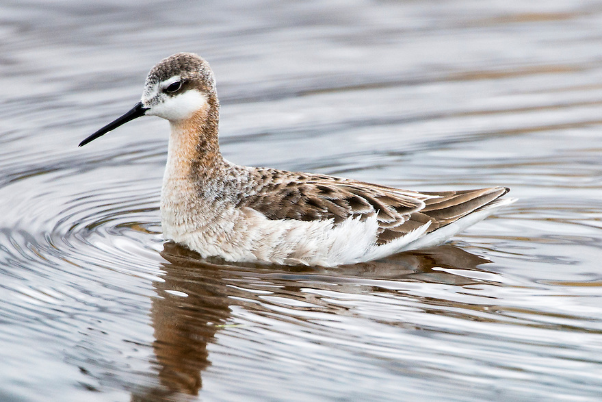 A male Wilson's Phalarope feeds in a wetland near the Jefferson River outside of Whitehall, Montana.