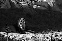 Lion, Denver Zoo