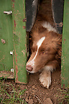 Red border collie watching from within a squeeze chute during late winter branding and calf marking at the Lavaggi Ranch in the Sierra Nevada Foothills near Plymouth, California..