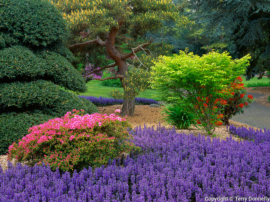 Seattle, WA<br /> Kubota Garden city park, flowering azalea and ajuga under pines