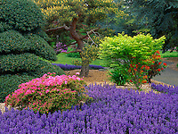 Seattle, WA<br /> Kubota Garden city park, flowering azalea and ajuga under pines