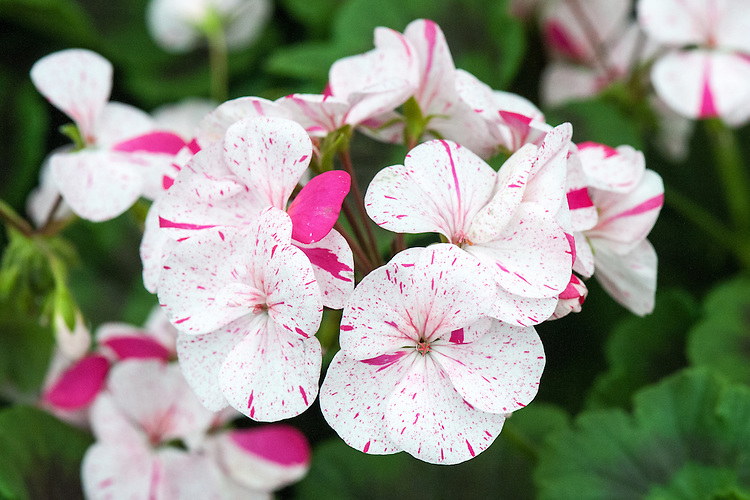 Single zonal Pelargonium 'Wolverton', late May.