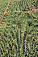 Europe/France/Midi-Pyrénées/46/Lot/env de Cajarc: champ de maïs et cabanon agricole dans la vallée du Lot