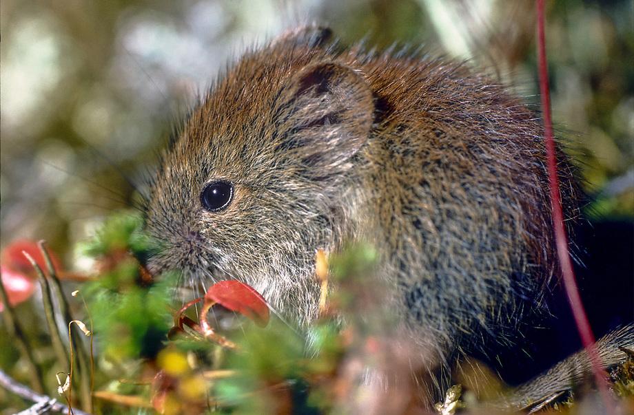 Kleine rode woelmuis (Clethrionomys rutilus)
