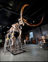 BNPS.co.uk (01202 558833)<br /> Pic: PhilYeomans/BNPS<br /> <br /> Elephant in your room??<br /> <br /> Interior designers fortunate enough to have a house big enough can now bid on this Woolly Mammoth skeleton being sold at Summers Place in West Sussex. <br /> <br /> Despite being over 10,000 years old and nearly 12 feet tall bidding is likely to be fierce for the ultimate 'Statement peice' although with a &pound;250,000 estimate potential owners will need very deep pockets to secure this unique item.<br /> <br /> The skeleton of the most famous animal of the Ice Age, which died out about 10,000 years ago, is 11ft 6in tall and 18ft long. It also sports enormous 8 foot tusks.<br /> <br /> Auctioneer James Rylands from Summers Place Auctions said it is very unusual to find a complete skeleton and one has not been sold in the UK before.<br /> <br /> The skeleton will be part of an evolution sale at Summers Place Auctions on November 26.