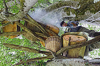 Camlihemsin: Mustafa Memoglu in the branches of a beech tree inspects his trunk hives called Kara kovan. The particularity of the honey produced in these hives is that the bees build themselves the wax combs without any intervention by humans. It follows that the shape of these natural combs, built from the top down, is irregular, triangular or rounded. As to the quantity of honey, that is due to the multitude of native mountain plants (around 350 types) from which the bees draw the nectar at between 1500 and 3000 metres altitude.///Camlihemsin: Mustafa Memoglu, inspecte dans les branches d'un hêtre ses ruches troncs nommée Kara kovan. La particularité du miel produit par ces ruches est que ce sont les abeilles, qui fabriquent elles-mêmes les rayons de cire, sans aucune intervention humaine. Il s'ensuit que la forme de ces rayons naturels, construits de haut en bas, est irrégulière, triangulaire ou arrondie. Quant à la qualité du miel, elle est due à la multitude de plantes de montagne endémiques (autour de 350 sortes) butinées par des abeilles, entre 1500 et 3000 mètres d'altitude.