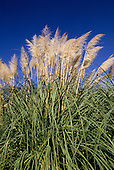 Amazon, Brazil. Cortaderia selloana; Pampas grass.